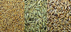 Triticale - The grain of wheat, rye and triticale — triticale grain is significantly larger than that of wheat.