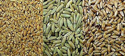 пшеница, рожь, тритикале