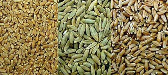 The grain of wheat, rye and triticale — triticale grain is significantly larger than that of wheat.