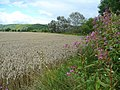 Wheat field north of the Wye - geograph.org.uk - 931748.jpg