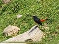 White-capped Redstart (Chaimarrornis leucocephalus) (39810415731).jpg