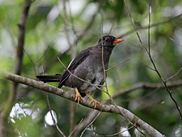 White-chinned Thrush RWD2.jpg