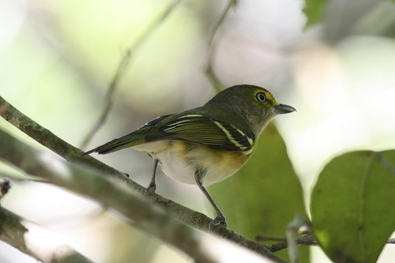 File:White-eyed Vireo by Alastair Rae.jpg