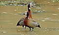 White-faced Duck (Dendrocygna viduata) (6012360510).jpg