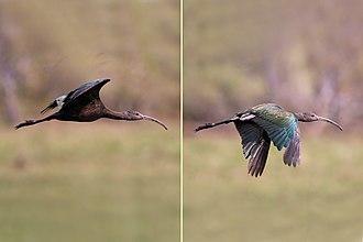White-faced ibis - Image: White faced ibis (Plegadis chihi) immature in flight composite