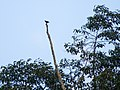 White-fronted Falconet (15026644885).jpg
