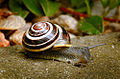 White-lipped snail (18112606784).jpg
