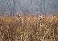 White-tailed deer (37355890354).jpg