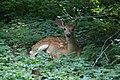 White-tailed deer fawn in Berwyn PA.jpg