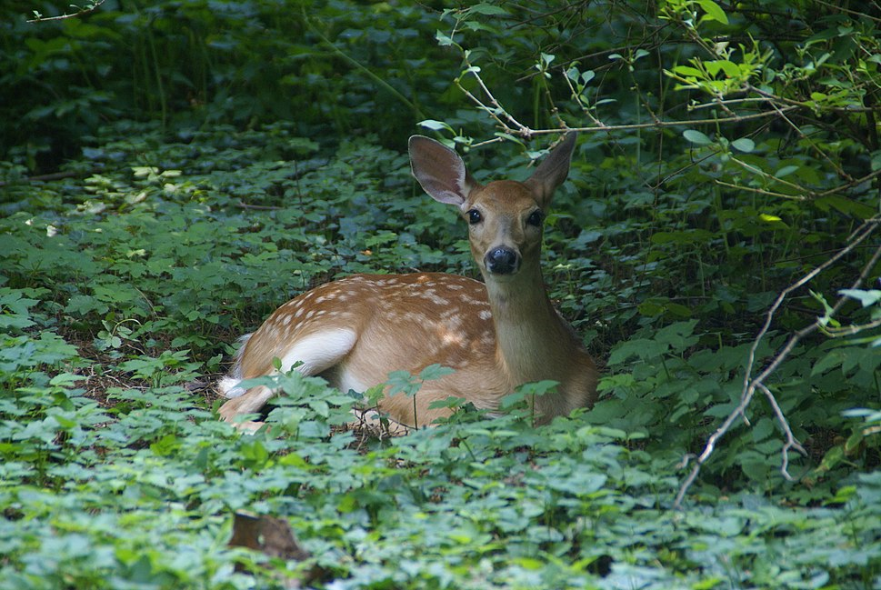 White-tailed deer fawn in Berwyn PA.jpg