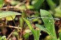 White Dartlet (Agriocnemis pieris) male. വെള്ളപ്പുല്ച്ചിന്നന് (43022262144).jpg