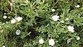 White Portulaca grandiflora.jpg