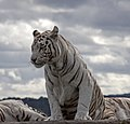 White Tiger 3 (3865803200).jpg