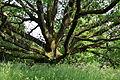 Wien-Penzing - Naturdenkmal 822 - Stieleiche (Quercus robur) - Stamm.jpg