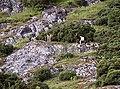 Wild Goats near ROGART - geograph.org.uk - 217921.jpg