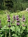 Wildflowers - panoramio - Raki Man (1).jpg