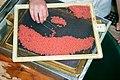 Winter run Chinook salmon eggs (30482520164).jpg