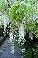Wisteria floribunda 'Alba' kz01.jpg