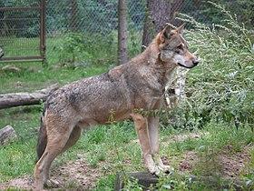 Wolf-P1020623.jpg