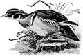 Wood Duck-Birdcraft-0050-3.png