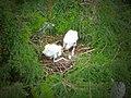 Wood stork chicks and egg (7460859224).jpg