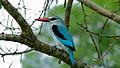 Woodland Kingfisher (Halcyon senegalensis) (6005787004).jpg