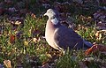 Woodpigeon - geograph.org.uk - 484587.jpg