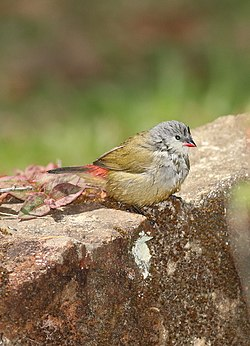 Yellow-bellied waxbill, Estrilda quartinia, Vumba National Botanical Garden, Zimbabwe (21654395060).jpg