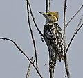 Yellow-crowned Woodpecker AMSM6705 YCWP.jpg