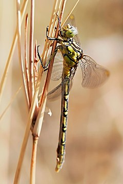 Yellow-striped hunter dragonfly05.jpg