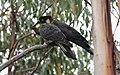 Yellow-tailed Black-Cockatoo (Calyptorhynchus funereus) (31341017776).jpg