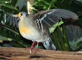 YellowBreastedGroundDove.jpg