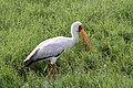 Yellow Billed Stork (7513668772).jpg