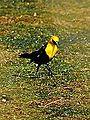 Yellow Headed Blackbird (7399600714).jpg