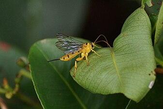 ichneumon wasps