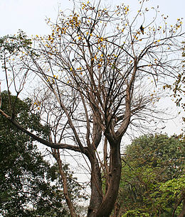 Yellow Silk Cotton (Cochlospermum religiosum) flowering tree in Kolkata W IMG 4252.jpg