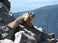 Yellow bellied marmot by orlando.jpg
