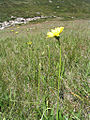Yellow flower in Kosciuszko National Park.jpg
