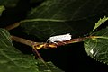 Yponomeuta evonymella (36368689841).jpg