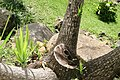 Yucca elephantipes 15zz.jpg