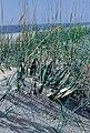 Yucca filamentosa subsp. concava fh 1183.99 NC B.jpg