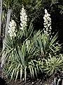 Yucca recurvifolia HRM1.jpg