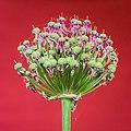 Zaden van een Allium (sierui) die rijpen. 27-06-2021. (d.j.b) 01.jpg