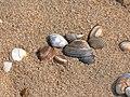Zandvoort Beach - Muscheln 1.jpg