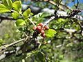 Zanthoxylum piperitum fruit.jpg