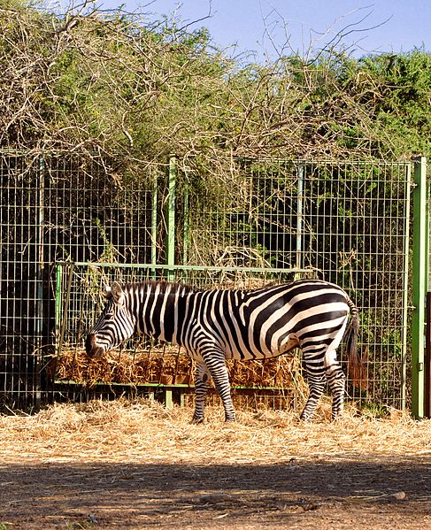 File:Zebras in Ashdod - panoramio.jpg