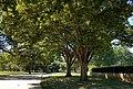 Zelkova near Jefferson Memorial.jpg