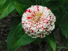 Zinnia Peppermint Stick (284585872).jpg