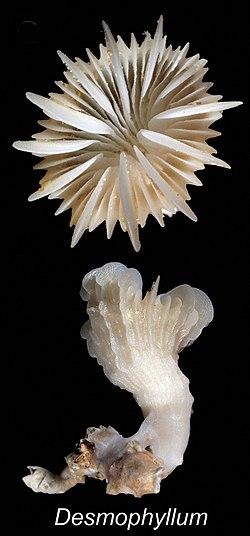 ZooKeys - Desmophyllum dianthus.jpeg