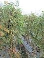 """+arya+"" kacang panjang (Vigna unguiculata sesquipedalis) ꦏꦕꦁ ꦭꦚ꧀ꦗꦫꦤ꧀ 2020 2.jpg"
